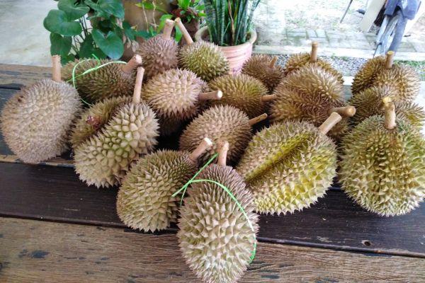 durianfeast-1031C4164D-8C23-F99D-752F-C32AF9702B1C.jpg