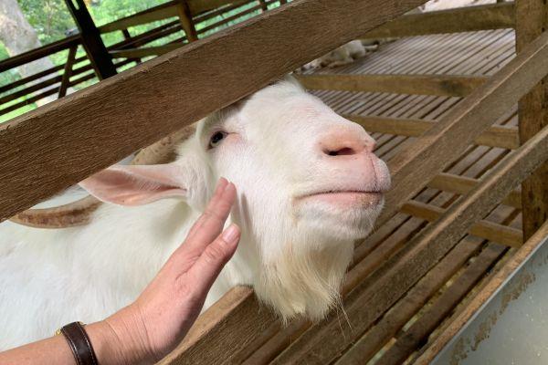 goat-farm-0237EE57D1-79CC-DFEF-3666-45D9C80BFAED.jpg