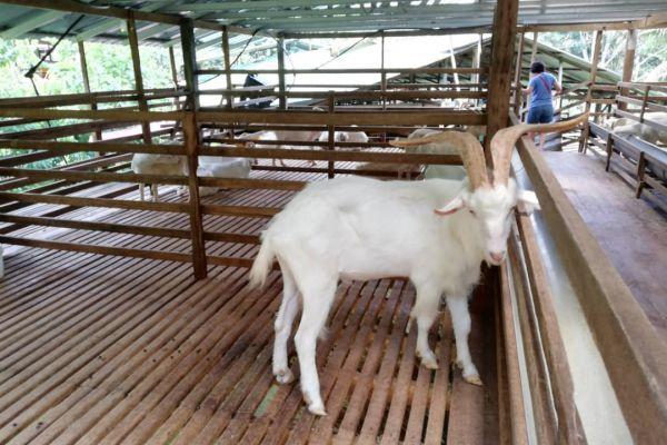 goat-farm-04F54E4DD2-9088-DBF0-140B-F97522770C92.jpeg